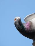 Testa di un piccione Fotografia Stock