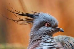 Testa di un piccione crestato nella vista laterale davanti ad un fondo bruno-rossastro fotografia stock libera da diritti