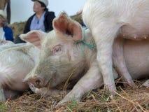 Testa di un porcellino in un mercato fotografia stock libera da diritti