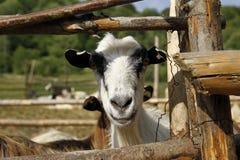 Testa di una capra Fotografie Stock Libere da Diritti
