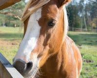 Testa di una fine del cavallo di baia su immagine stock libera da diritti