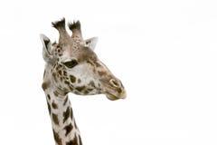 Testa di una giraffa Fotografie Stock