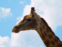 Testa di una giraffa Immagini Stock Libere da Diritti