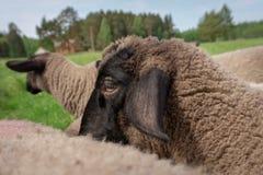 Testa di una pecora osservata attraverso la parte posteriore di un altro fotografie stock libere da diritti
