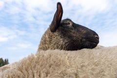 Testa di una pecora osservata attraverso la parte posteriore di un altro fotografia stock