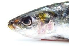 Testa di una sardina Fotografia Stock Libera da Diritti