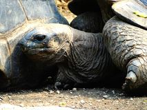 Testa di una tartaruga gigante sulle isole di galapagos immagini stock libere da diritti
