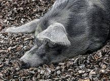 Testa domestica del ` s del maiale Fotografie Stock Libere da Diritti