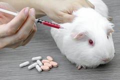 Testa droger och vaccinen på en mus, laboratoriumdjur arkivfoton