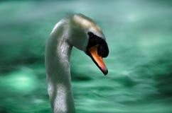 Testa e collo maschii del ` s del cigno con acqua verde Fotografie Stock