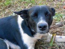 Testa e fronte del cane in bianco e nero immagine stock