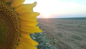 Testa e tramonto del girasole Immagini Stock Libere da Diritti