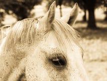 Testa ed occhio del dettaglio del cavallo (106) Fotografie Stock Libere da Diritti