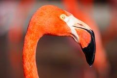 Testa esotica piacevole del dettaglio dell'uccello acquatico del fenicottero fotografie stock libere da diritti