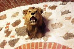 Testa farcita del leone nel castello di Trakai, Lituania Fotografia Stock Libera da Diritti