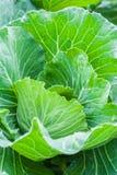 Testa fresca di verde di cavolo sul campo Fotografie Stock