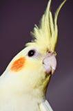 Testa gialla curiosa del cockatiel Fotografia Stock Libera da Diritti