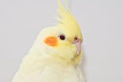 Testa gialla del cockatiel Fotografie Stock
