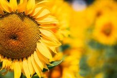 Testa gialla del girasole del bloomng nel campo nel giorno di estate soleggiato Fotografie Stock