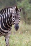Testa isolata della zebra sopra priorità bassa vaga immagine stock libera da diritti