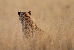 Testa isolata di un leopardo Fotografie Stock