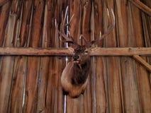 Testa maschio d'attaccatura rustica dei cervi Fotografie Stock