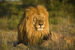 Testa maschio del leone fotografia stock