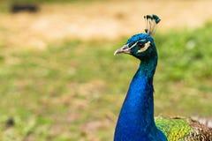 Testa maschio del pavone Fotografie Stock