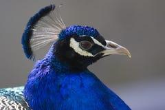 Testa maschio del pavone Fotografia Stock Libera da Diritti