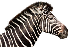 Testa maschio della zebra Immagini Stock
