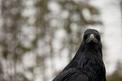 Testa nera del corvo Fotografia Stock