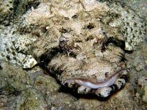 Testa piana dei pesci del coccodrillo - Mar Rosso Immagini Stock Libere da Diritti