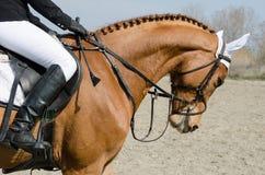 Testa preso di un cavallo del saltatore di manifestazione durante l'addestramento con il cavaliere non identificato Fotografie Stock Libere da Diritti