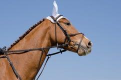 Testa preso di un cavallo del saltatore di manifestazione durante l'addestramento con il cavaliere non identificato Fotografia Stock
