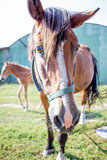 Testa rossa del primo piano del cavallo alla campagna dell'azienda agricola Fotografie Stock