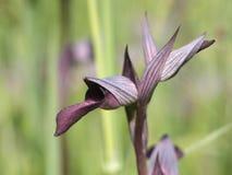Testa selvaggia del lingua di serapias dell'orchidea Fotografia Stock Libera da Diritti