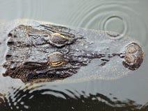 Testa sommersa del coccodrillo Fotografia Stock