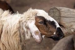 Testa sporca delle pecore del primo piano Fotografia Stock