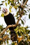 Testa sul punto di vista di Toco Toucan selvaggio alla luce di mattina fotografia stock