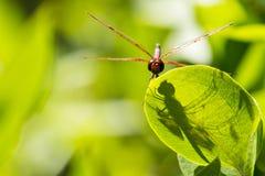 Testa sulla vista: Libellula maschio dello stendardo del calicò sulla foglia con ombra Immagine Stock