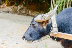 Testa tailandese della Buffalo Fotografie Stock