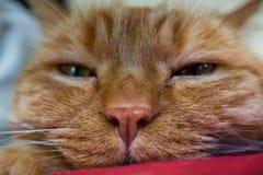 Testa vaga di un gatto arancio sonnolento; profondità di campo bassa Fotografia Stock Libera da Diritti
