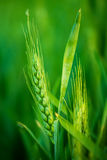 Testa verde del grano nel campo agricolo coltivato Immagini Stock Libere da Diritti