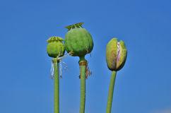 Testa verde non matura del papavero Fotografie Stock Libere da Diritti