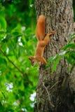 Testarossa dello scoiattolo su un albero di estate Fotografia Stock Libera da Diritti
