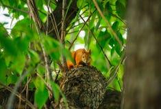 Testarossa dello scoiattolo su un albero di estate Immagine Stock Libera da Diritti