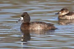 Testarossa femminile Duck Swimming in lago Immagine Stock