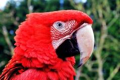 Testarossa, pappagallo. Ara alata verde fotografia stock libera da diritti