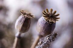 Teste asciutte del papavero ed altri fiori secchi, colori d'annata, macro fondo fotografia stock libera da diritti