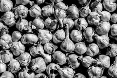 Teste d'aglio, in bianco e nero fotografie stock libere da diritti